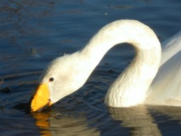Whooper Swan, Martin Mere