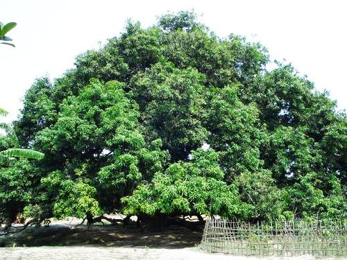 A Big Mango Tree