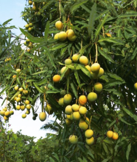 The Branch Full of Ripe Mangoes