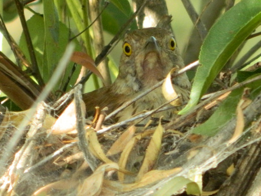 Brown Thrasher on Nest