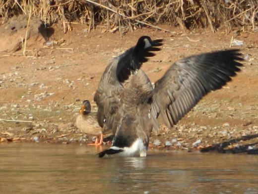 Canada Goose and Mallard