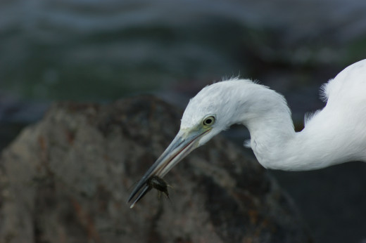 While watching the launching of the shuttle in Florida this heron was more interested in a tasty morsel