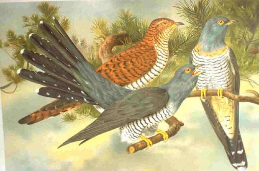 Cuckoos. In Public Domain