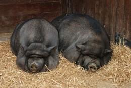 Vietnamese potbelly pigs. Cute, cute!