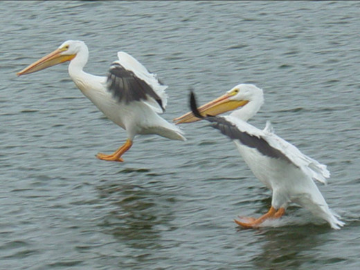 American white pelicans on Lake of the Woods