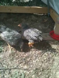 The Plymouth Barred Rock Chicken