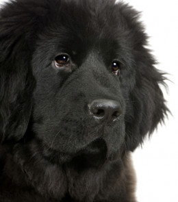 The Newfoundland