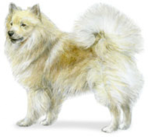 The Icelandic Sheepdog