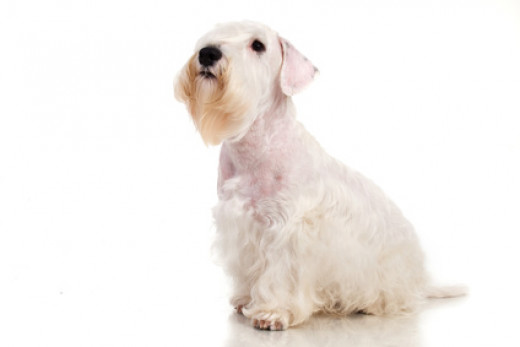 The Sealyham Terrier
