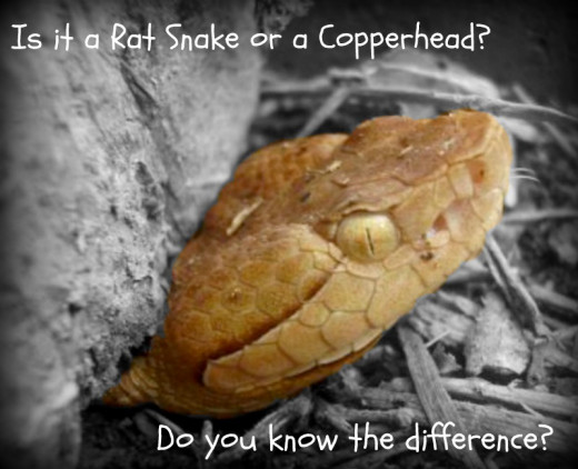 If you live in an area where copperhead snakes can be found, you need to educate yourself on how to recognize one.