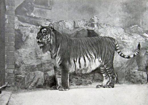 Tiger 1895