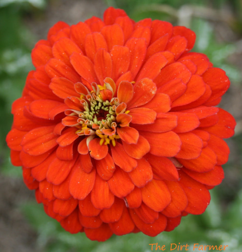 Zinnias are easy to grow from saved seed.