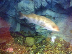 A Striped Bass in the huge tank--image is blurry due to a combination of motion, water and thick glass