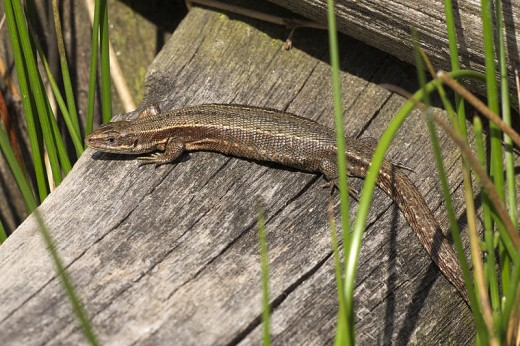 Female Common Lizard (Zootoca vivipara). Photo by Jörg Hempel