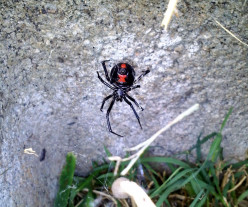 Spiders in My Backyard Garden: A Black Widow Infestation
