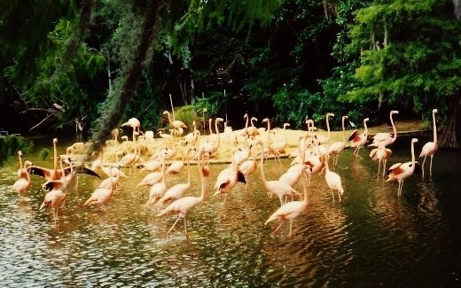 Flamingos on Discovery Island.  Just one of many animals we got to see while visiting there.