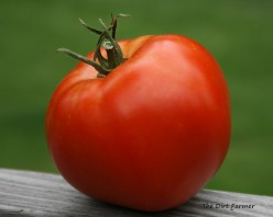 This tomato was delicious! But I won't be planting its seeds next year.