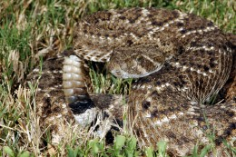 Western diamondback rattlesnake. Photo by Clinton & Charles Robertson, Attribution 2.0 Generic (CC BY 2.0)