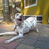 Dalmatian Dog: Friend of Horses breed with black spots