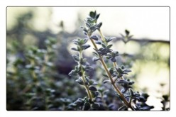 Helping Inflammation and Pain Using Thyme