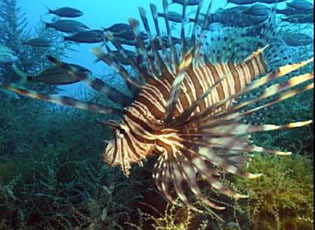 Lionfish were introduced to the U.S. in 1992 through the aquarium trade. They prey on native species and have venomous spines.