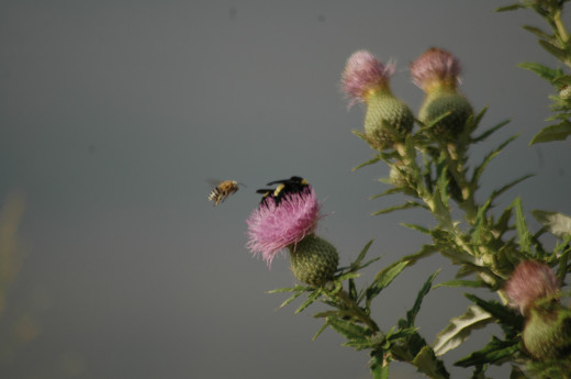 Two different kinds of bees, honey and bumble