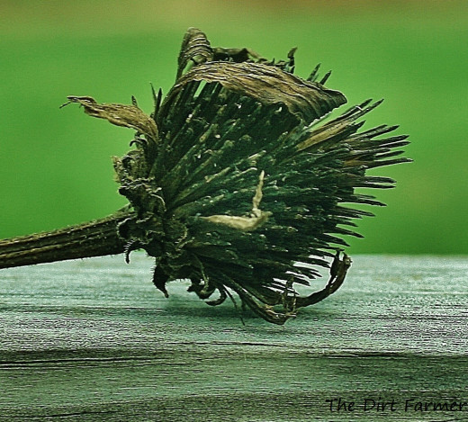 The seed head of this purple coneflower will dry more thoroughly once the chaff is removed.