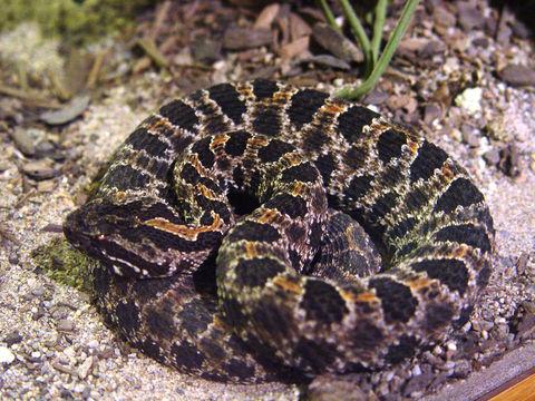 dusky pigmy rattlesnake.   Publisher: Shapiro, Leo Photographer: Blueag9