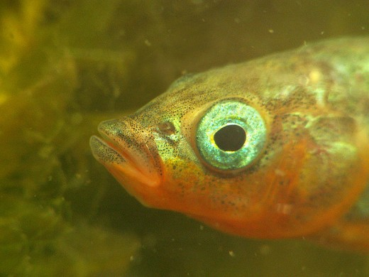 Head of male three-spined stickleback (Gasterosteus aculeatus) by Piet Spaans