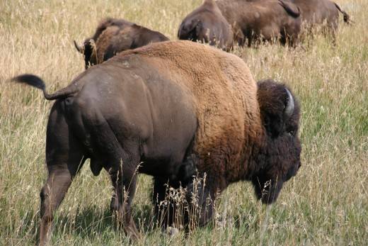 Bison grazing at Theodore Roosevelt National Park