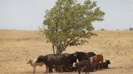 Cows in brown fields just ooking for a little shade in 100 degree heat wave