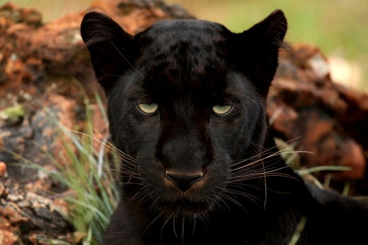 Big Cats as spirit animals are protectors and provide speed.