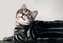 American Shorthair: Your Best Companion