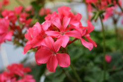 How to Grow Geraniums from Cuttings