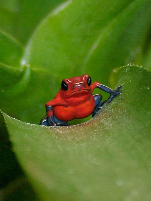 Thumbnail poison dart frogs require suitably tiny feeder insects