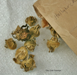 Hollyhock seed pods, allowed to dry on the stalk, were collected into a paper bag.