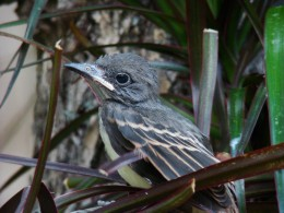 Another baby Great crested flycatchers first flight