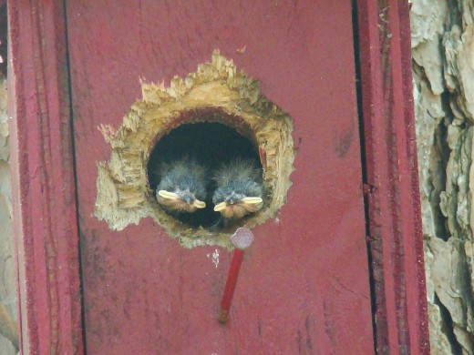 Baby flycatchers peeking out to see the world for the first time.