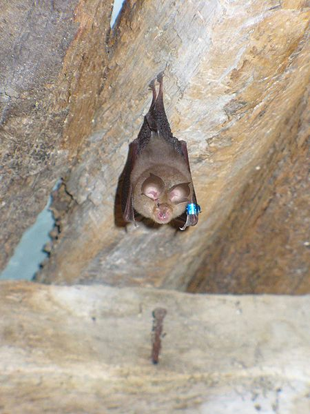 All bats in the UK are fully protected by law.
