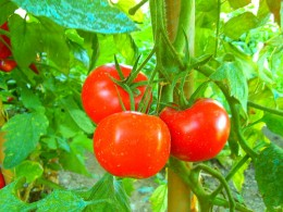 Tomatoes can be eaten fresh off the vine, canned, cooked, pickled and in a variety of ways. But are tomatoes a vegetable or fruit?
