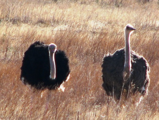 A pair of Ostriches in Karoo