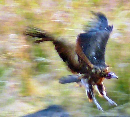 Vulture landing Kruger NP
