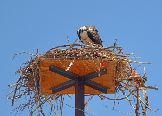 The osprey peers into the nest.