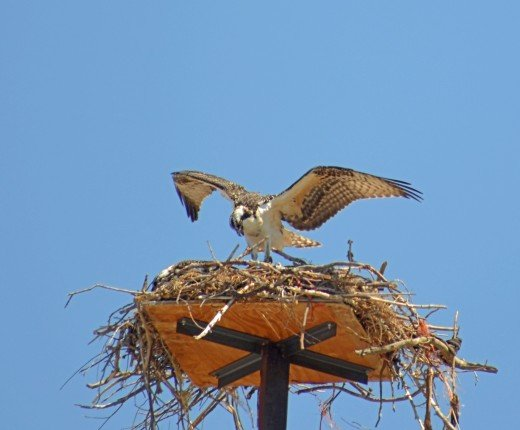 The osprey is perhaps regurgitating fish for the chicks.