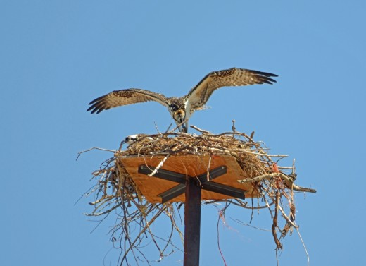 Flapping slightly, the osprey begins feeding the chicks.