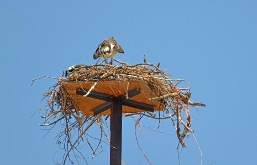 The osprey gathers its wings in and performs settling maneuvers before starting the feeding again.