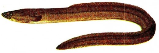 European Eel in Public Domain