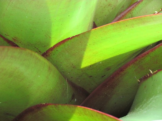 Imperial bromeliad