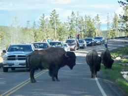 Bison Jam south of Canyon
