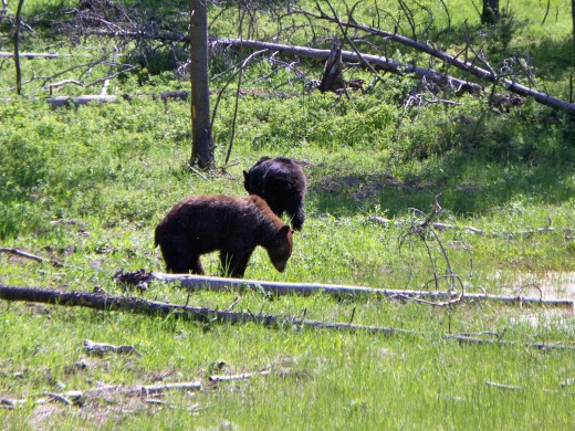 Two black bears along the roadside